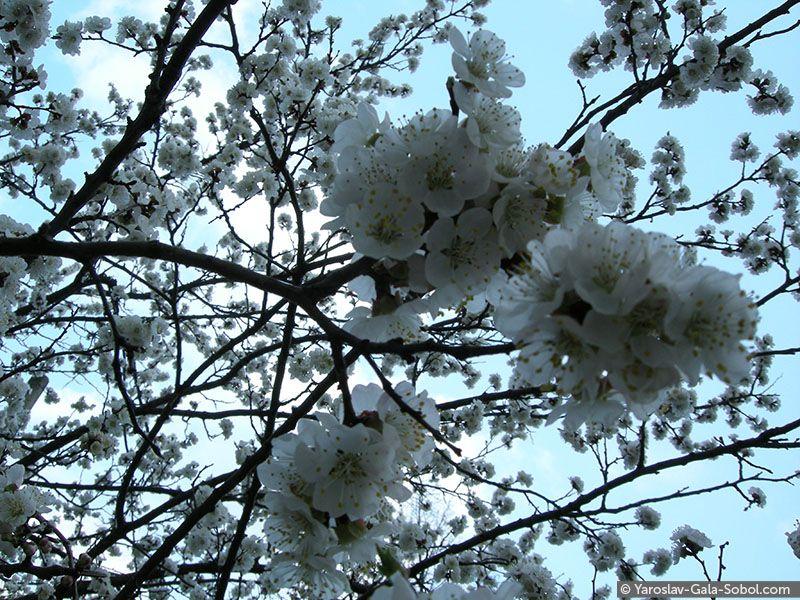 YAROSLAV AND GALA SOBOL Spring. Apricot-tree blossom // Весна. Абрикосовий квіт